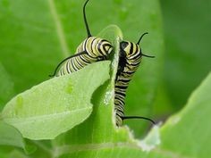 Orugas Caterpillar, Plant Leaves, Plants, Collection, Insects, Animales, Butterflies, Survival Weapons, Monarch Butterfly
