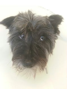 Save Me Mom! - Cairn Terrier