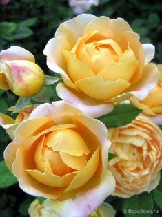 'Anna Fendi ' | Hybrid Tea rose. Vittorio Barni Italy 2004