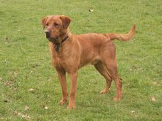 Red Fox Lab - Reminds me of my little boy Odie!