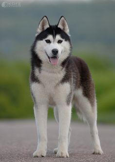 """500px / Photo """"Siberian Husky dog..."""" by Tanya Kozlovsky"""