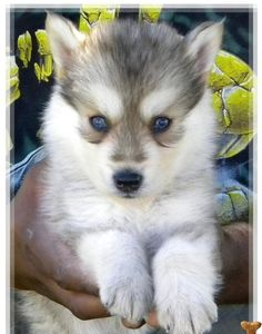 siberian husky wolf mix puppies for sale | Zoe Fans Blog