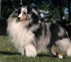 Absolutely gorgeous! This blue merle sheltie has to be a male, look at that mane!