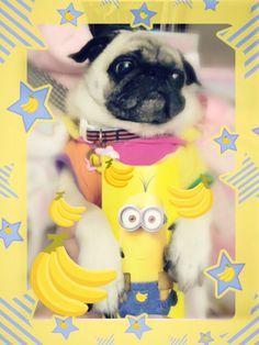 Cheeze loves banana! #pug #minions #bananapie