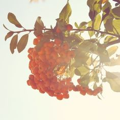 Orange berries from Diem Design Photography.