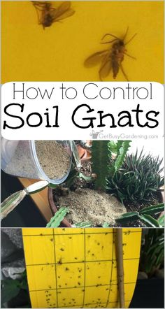 Soil gnats are super annoying, and can plague indoor gardeners. But they aren't usually destructive and are one of the easiest houseplant pests to control.