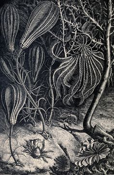 Illustration from Charles Frederick Holder's Living Lights: A Popular Account of Phosphorescent Animals and Vegetables, 1887