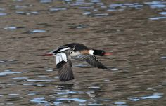 Red breasted merganser Essex, CT on Connecticut River