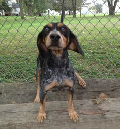 #KENTUCKY #URGENT ~ BELL (PARTIAL SPONSOR) is a Spayed Blue Tick Coonhound in need of a loving #adopter / #rescue at FRANKLIN COUNTY HUMANE SOCIETY 1041 Kentucky Ave  #Frankfort KY 40601 Ph 502-875-7297