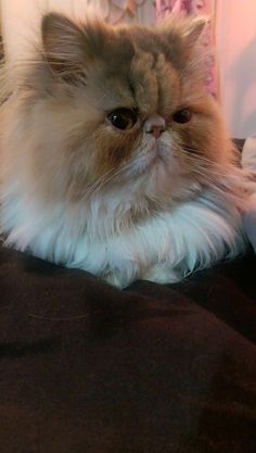 Fantastic Ideas Persian Cats And Kittens Cute Teacup Persian Cats, Persian Kittens, I Love Cats, Crazy Cats, Cool Cats, Pretty Cats, Beautiful Cats, Kittens Cutest, Cats And Kittens