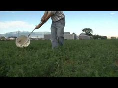 How to Sweep Sample for Pests Insect Pest, Pest Management