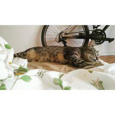 """Biiiike! Woooork... MUST GET UP!! Going. I'm going I'm going....""  Zzzzz  Do you feel like Cmyk? I do. This is Cmyk's first (really) hot summer. Body not responding mode.  #cmykthecat #catsofinstagram #kitten #tohottobeoutside #sleepycat #nap #catgram #bikesandcats #tohottobeworking #hot #summer #coolingdown #bicycle #bed #rest"