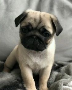 In case you are interested in an excellent companion pet, a new pug is a Cute Baby Pugs, Cute Dogs And Puppies, Baby Dogs, Baby Pugs For Sale, Pug Puppies For Sale, Black Pug Puppies, Baby Animals Pictures, Cute Animal Pictures, Airedale Terrier