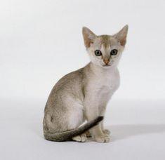 1. Singapur, o gato mais pequeno do mundo