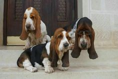 "389 Likes, 1 Comments - Basset Hound (@bassethound.dogs) on Instagram: ""Get your Basset Hound T-shirt by clicking on the link in my bio (profil) ➡@bassetworld  from…"""