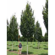 Carpinus betulus 'Frans Fontaine' / Säulen-Hainbuche 'Frans Fontaine' - Baumschule NewGarden