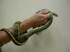 Rat - Tiawanese Snakes, Reptiles, Rat, Bracelets, Animals, Jewelry, Animaux, Jewels, Schmuck