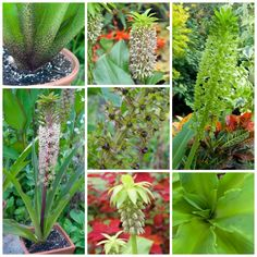 foetid, but fantastic: growing eucomis, or pineapple lilies