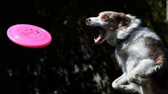 Now that's determination!  A border collie named Spring tries to catch a Frisbee during a competition Sunday, March 8, at the Woofstock 90210 dog show in Beverly Hills, California. The annual event raises money for animal welfare and helps find homes for rescue dogs.