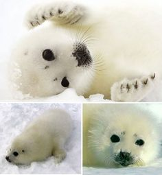 arctic-animals-harp-seal