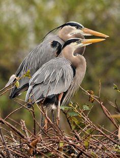 Great Blue Heron Couple - by Denis Stewart