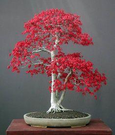 Acer Palmatum (Japanese maple) bonsai.