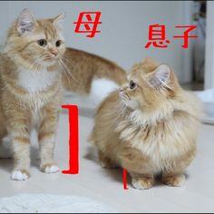 マンチカンの短足っぷり の画像|マンチカンズと仲間たち(短足猫のマンチカンの画像と動画)  Munchkin mam & son