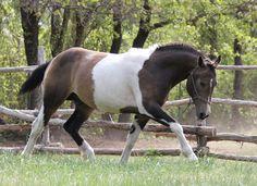 Curly Horse stallion Stag Creek Mikade