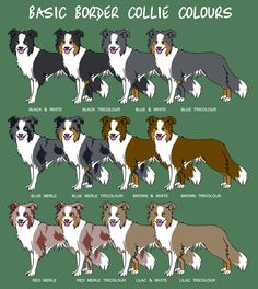 """""""Basic Border Collie Colors"""" Cute! Except...My Boo is missing, he was solid black with only a white chest and one white paw."""