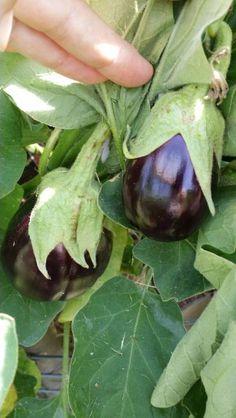 Eggplant growing in the garden. HowmyTexasGardensGrow.com