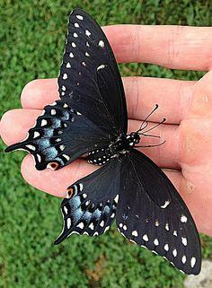 Beautiful butterfly in my backyard