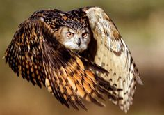 great horned owl spread wings pictures - Google Search