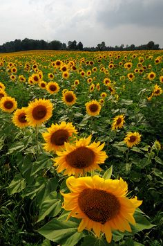 Sunflowers bowing to the clouds