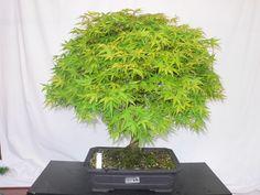 Acer palm.Katsura