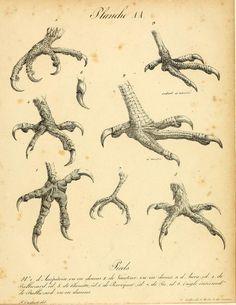 t.2=pt.3-5 (1843) - La galerie des oiseaux - Biodiversity Heritage Library