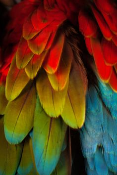 Photo : Feathers on a Scarlet Macaw.