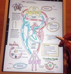 Apuntes del ciclo del corazon