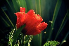 Poppy. Loved the colour and shape of the out of focus spider plant in the background  - kind of art deco...