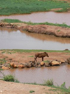 Pumbaa, where´s Timon? Tsavo East, Kenya