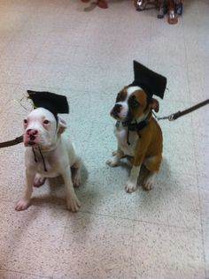 Two boxers that graduated from obedience school!  Good boys!  Omg how cute