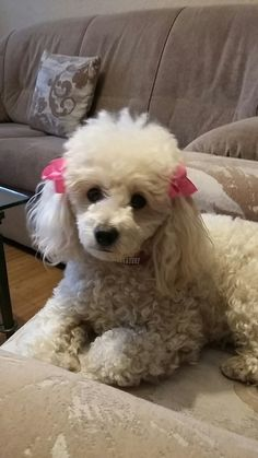 Leia with pink hair ties! Puppies And Kitties, Teacup Puppies, Lab Puppies, Cute Puppies, Pet Dogs, Doggies, Weiner Dogs, Poodle Hair, Puppy Room
