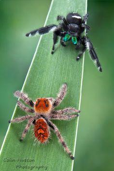 Regal Jumping Spider - Phidippus regius by ColinHuttonPhoto on DeviantArt Beautiful Bugs, Amazing Nature, Jumping Spider, Itsy Bitsy Spider, Bugs And Insects, Mundo Animal, Amphibians, Beautiful Creatures, Beetle