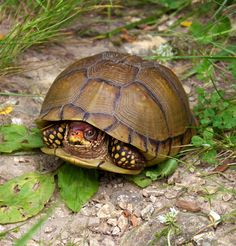 3 toe box turtle | Three-toed Box Turtle | Project Noah