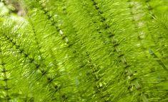 Pflanzenbrühen und -jauchen sind wirkungsvolle biologische Pflanzenstärkungsmittel. Schachtelhalmjauche enthält viel Kieselsäure und macht damit die Blätter der Pflanzen widerstandsfähiger gegen Pilzkrankheiten. Hier zeigen wir Ihnen, wie man die Jauche herstellt.