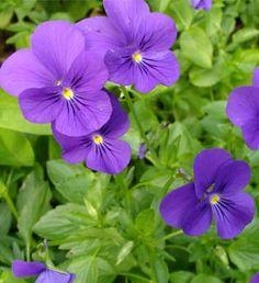Sarviorvokki Something Blue, Something Beautiful, Purple Flowers, Plants, Ohio, Garden Ideas, Gardening, Party, Flowers