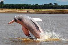 Delfin Rosado Amazonas Colombia
