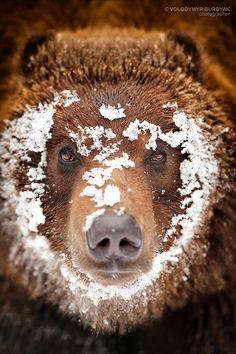 thecountryfucker:      Snowy Grizzly   Photo by Volodymyr Burdyak