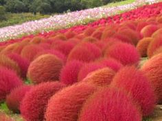 Kochia Hill at Hitachi Seaside Park | Hitachinaka City, Ibaraki Prefecture