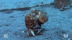 """Have you ever seen an octopus run before?From @sciencefriday: """"Crawling, swimming, squeezing, jetting—the range of movement available to an octopus is impressive. Yet some species occasionally choose to stand up on two arms and """"run"""" backwards...."""