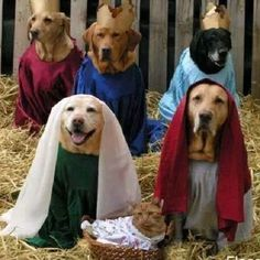 Christmas nativity Labrador style by labradors4life